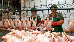 Производители курятины наращивают выпуск продукции